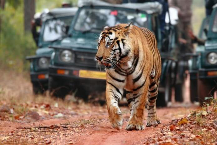 Spot a Tiger at Ranthambore National Park.