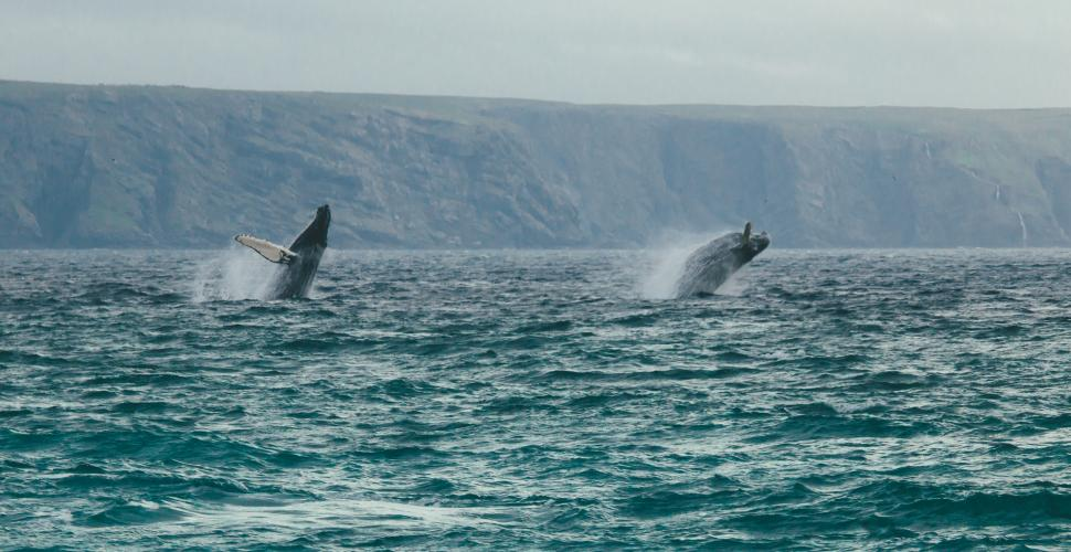 Humpback Whales Dancing in the Witless Bay Ecological Reserve