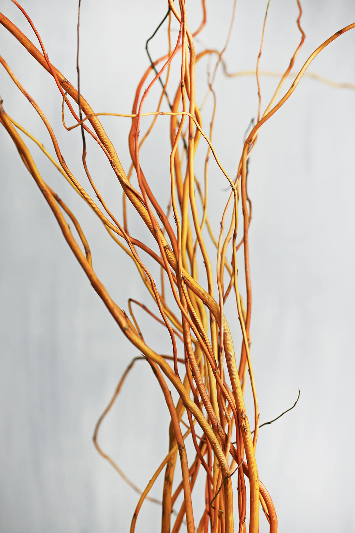 Orange Amp Yellow Curly Willow Branches 3 4FT