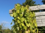 Amerikanische Pfeifenwinde / Pfeifenblume / Gespensterpflanze, 60-100 cm, Aristolochia macrophylla (durior), Containerware