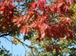 Amerikanische Roteiche, 80-100 cm, Quercus rubra, Wurzelware