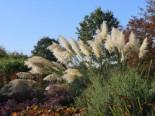 Amerikanisches Pampasgras / Silber-Pampasgras, 20-30 cm, Cortaderia selloana, Topfware
