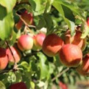 Apfel 'Rewena' ®, Stamm 40-60 cm, 120-160 cm, Malus domestica 'Rewena' ®, Wurzelware