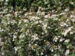 Apfelbeere 'Brilliant', 40-60 cm, Aronia arbutifolia 'Brilliant', Containerware
