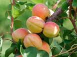 Aprikose 'Goldrich', Stamm 40-60 cm, Prunus armeniaca 'Goldrich', Containerware