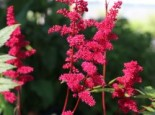 Arends Prachtspiere 'Feuer', Astilbe x arendsii 'Feuer', Topfware