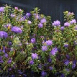 Rhododendron 'Blaufeder', 40-50 cm, Rhododendron russatum 'Blaufeder', Containerware