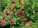 Brombeere 'Tayberry ® Medana', 60-100 cm, Rubus 'Tayberry ® Medana', Containerware