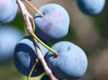 Zwetsche 'Herman', Stamm 40-60 cm, 120-160 cm, Prunus 'Herman', Wurzelware