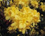 Laubabwerfende Azalee 'Limetta', 40-50 cm, Rhododendron luteum 'Limetta', Containerware