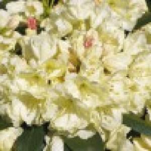 Rhododendron 'Bob Bovee', 25-30 cm, Rhododendron yakushimanum 'Bob Bovee', Containerware