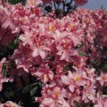 Laubabwerfende Azalee 'Raimunde', 30-40 cm, Rhododendron luteum 'Raimunde', Containerware
