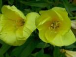 Zweijährige Nachtkerze, Oenothera biennis, Topfware
