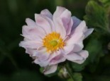 Japan-Herbst-Anemone 'Mont Rose', Anemone japonica 'Mont Rose', Topfware