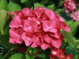 Ballhortensie Royalty® Collection 'Hot Red ®', 20-30 cm, Hydrangea macrophylla Royalty® Collection 'Hot Red ®', Containerware