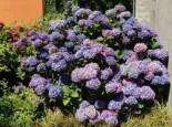 Ballhortensie (Blau), 30-40 cm, Hydrangea macrophylla (Blau), Containerware