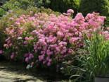 Ballhortensie Endless Summer ® 'The Original' (Rosa), 30-40 cm, Hydrangea macrophylla Endless Summer ® 'The Original' (Rosa), Containerware