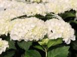 Ballhortensie Everbloom ® 'White Wonder', 30-40 cm, Hydrangea macrophylla Everbloom ® 'White Wonder', Containerware
