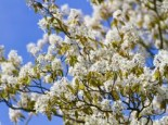 Baum-Felsenbirne 'Robin Hill', 80-100 cm, Amelanchier arborea 'Robin Hill', Containerware