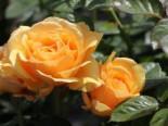 Beetrose 'Amber Queen' ®, Rosa 'Amber Queen' ®, Containerware