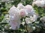 Beetrose 'Aspirin' ®, Rosa 'Aspirin' ® ADR-Rose, Containerware