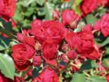 Beetrose 'Manora' ®, Rosa 'Manora' ®, Wurzelware
