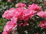 Beetrose 'Sommerwind' ®, Rosa 'Sommerwind' ®, Containerware