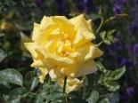 Beetrose 'Sunstar' ®, Rosa 'Sunstar' ® ADR-Rose, Wurzelware