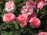 Beetrose 'The Queen Elizabeth Rose', Rosa 'The Queen Elizabeth Rose', Containerware