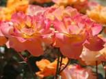 Beetrose 'Westzeit' ®, Rosa 'Westzeit' ® ADR-Rose, Containerware