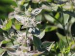 Behaarte Scheinbergminze, Pycnanthemum pilosum, Topfware