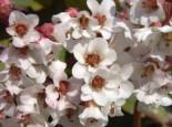 Bergenie 'Silberlicht', Bergenia cordifolia 'Silberlicht', Topfware