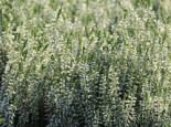Besenheide 'Bettina', 10-15 cm, Calluna vulgaris 'Bettina', Topfware