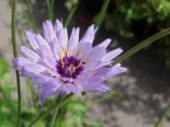 Blaublühende Rasselblume, Catananche caerulea, Topfware