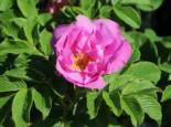 Bodendecker-Rose 'Foxi' ®, Rosa rugosa 'Foxi' ®, Containerware