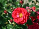 Bodendecker-Rose Flower Carpet ® 'Heidefeuer' ®, Rosa Flower Carpet ® 'Heidefeuer' ®, Wurzelware