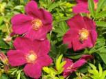 Bodendecker-Rose Strandperle ® 'Amrum', Rosa Strandperle ® 'Amrum', Containerware