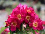 Bodendecker-Rose 'Weg der Sinne' ®, Rosa 'Weg der Sinne' ® ADR-Rose, Wurzelware