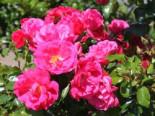 Bodendeckerrose 'Gärtnerfreude' ® / 'Toscana' ®, Rosa 'Gärtnerfreude' ® / 'Toscana' ® ADR-Rose, Containerware