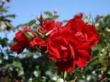 Bodendecker-Rose / Beetrose 'Austriana' ®, Stamm 60 cm, Rosa 'Austriana' ®, Containerware