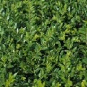 Böschungsmyrthe 'Moss Green', 15-20 cm, Lonicera pileata 'Moss Green', Topfware
