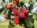 Brombeere 'Black Satin', 40-60 cm, Rubus fruticosus 'Black Satin', Containerware