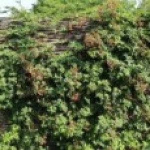 Brombeere 'Oregon Thornless' / 'Thornless Evergreen', 40-60 cm, Rubus fruticosus 'Oregon Thornless' / 'Thornless Evergreen', Containerware