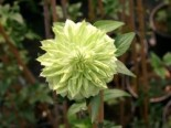 Clematis 'Alba Plena', 60-100 cm, Clematis florida 'Alba Plena', Containerware