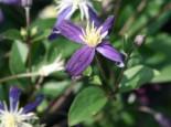 Clematis 'Aromatica', 40-60 cm, Clematis integrifolia 'Aromatica', Containerware