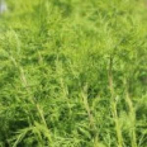 Eberraute / Cola-Strauch, Artemisia abrotanum, Topfware