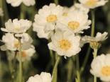 Dalmatiner-Silber-Garbe, Achillea ageratifolia, Topfware
