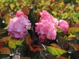 Doppelt gefüllte Ballhortensie You & Me 'Miss Saori' (Rosa), 30-40 cm, Hydrangea macrophylla 'Miss Saori' (Rosa), Containerware