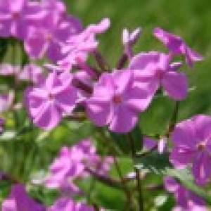 Dreiblütige Flammenblume 'Bill Baker', Phlox glaberrima subsp. triflora 'Bill Baker', Topfware