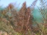 Dunkelblättriger Fenchel 'Atropurpureum', Foeniculum vulgare 'Atropurpureum', Topfware